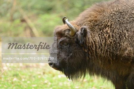Portrait of European Bison (Bison bonasus) in Forest in Spring, Bavarian Forest National Park, Bavaria, Germany