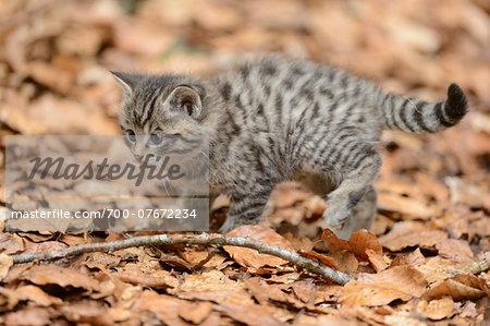 European Wildcat (Felis silvestris silvestris) Kitten in Forest in Spring, Bavaria Forest National Park, Bavaria, Germany