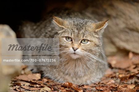 Close-up of European Wildcat (Felis silvestris silvestris) in Forest in Spring, Bavarian Forest National Park, Bavaria, Germany