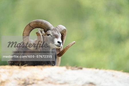 Close-up of a mouflon (Ovis orientalis orientalis) in early summer, Wildpark Alte Fasanerie Hanau, Hesse, Germany