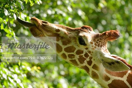 Close-up portrait of a reticulated giraffe (Giraffa camelopardalis reticulata) in spring, Bavaria, Germany