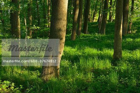Forest in Spring, Vogelsberg District, Hesse, Germany