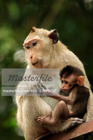 Family of monkeys. Sihanoukville, Cambodia