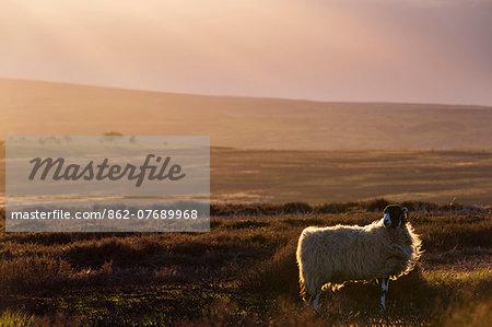 United Kingdom, England, North Yorkshire, Goathland. A sheep on the Moors near Goathland.