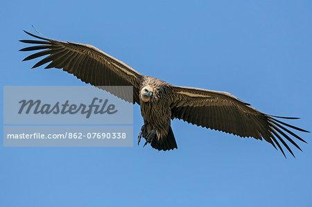 Kenya, Masai Mara, Narok County. An immature Ruppell s Griffon Vulture swoops down to land beside a dead animal in Masai Mara National Reserve.