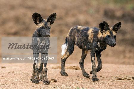 Kenya, Laikipia County, Laikipia. Two juvenile wild dogs nearing maturity.