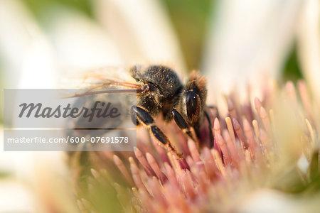 Close-up of European Honeybee (Apis mellifera) on Flower in Summer, Upper Palatinate, Bavaria, Germany
