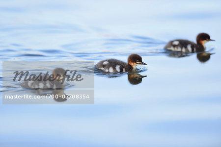 Close-up of Common Merganser (Mergus merganser) Ducklings Swimming in Water in Spring, Bavaria, Germany