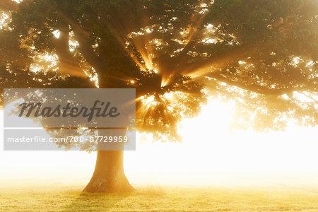 English Oak Tree in Mist at Sunrise