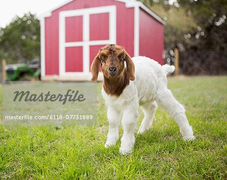A baby goat outside a barn.