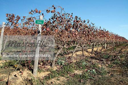 Rows of Autumnal Shiraz Grape Vines, Constantia, Western Cape, South Africa