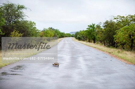Tortoise crossing road, Kruger National Park, Limpopo Province, South Africa