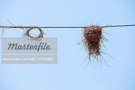 Bird nest, Kruger National Park, Limpopo Province, South Africa