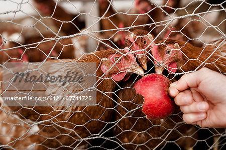 Girl feeding chickens on organic farm