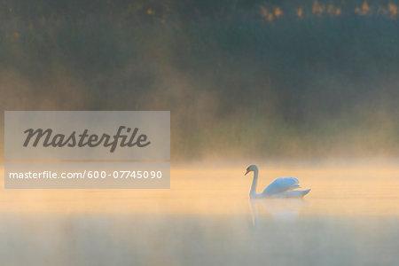 Mute Swan (Cygnus olor) on Misty Lake in Morning Light, Saxony, Germany