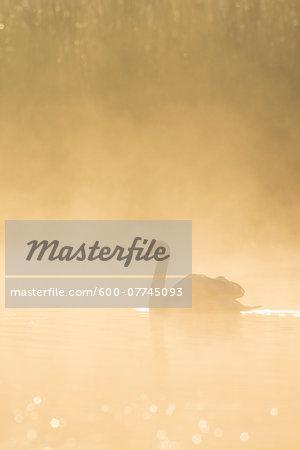 Mute Swan (Cygnus olor) on Misty Lake, Saxony, Germany