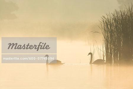 Mute Swans (Cygnus olor) on Misty Lake, Saxony, Germany