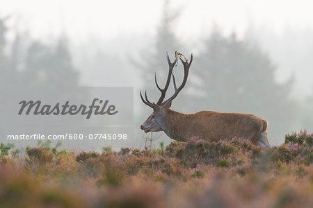 Male Red Deer (Cervus elaphus) in Autumn, Schleswig-Holstein, Germany