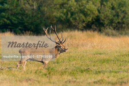 Male Red Deer (Cervus elaphus) in Rutting Season, Schleswig-Holstein, Germany