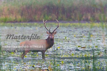 Red Deer Hart (Cervus elaphus) in Pond, Saxony, Germany