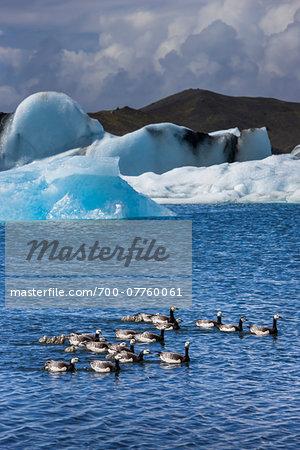 Close-up ducks and ducklings in water with icebergs, Jokulsarlon Lagoon, Jokulsarlon, Iceland