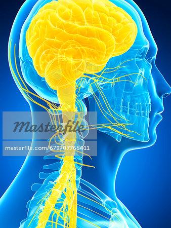 Human brain and nervous system, computer artwork.