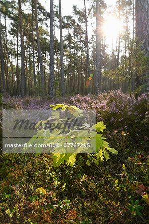 English Oak (Quercus pedunculata) Sapling and Common Heather (Calluna vulgaris) in Scots Pine Forest, Bavaria, Germany