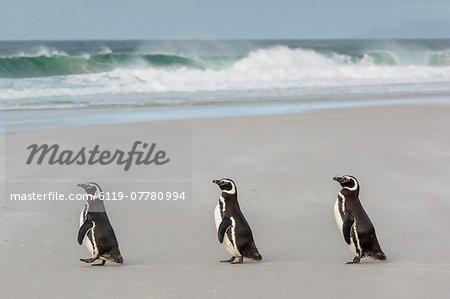 Magellanic penguins (Spheniscus magellanicus) returning to the sea to feed on Saunders Island, West Falkland Islands, UK Overseas Protectorate, South America