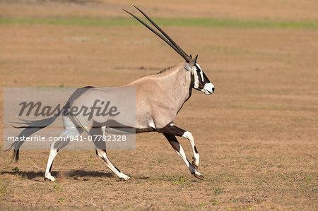 Gemsbok (Oryx gazella gazella) running, Kgalagadi Transfrontier Park, Northern Cape, South Africa, Africa