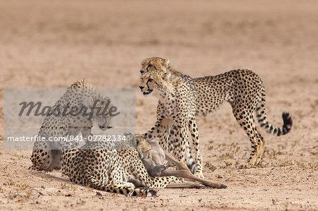 Cheetah (Acinonyx jubatus) killing baby common wildebeest (Connochaetes taurinus), Kgalagadi Transfrontier Park, South Africa, Africa