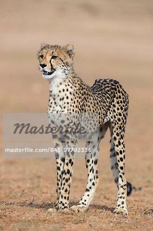 Cheetah cub (Acinonyx jubatus), Kgalagadi Transfrontier Park, Northern Cape, South Africa, Africa