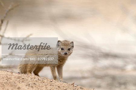 Baby yellow mongoose (Cynictis penicillata), Kgalagadi Transfrontier Park, Northern Cape, South Africa, Afruca