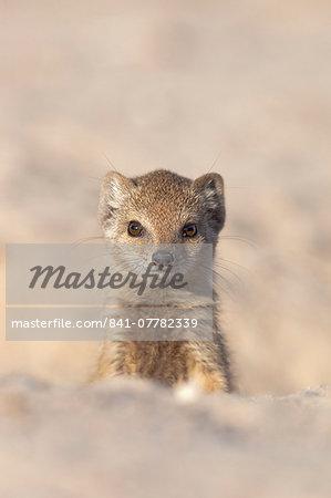 Yellow mongoose (Cynictis penicillata) young, Kgalagadi Transfrontier Park, South Africa, Africa