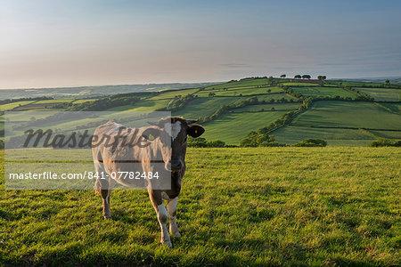 Cow grazing in beautiful rolling countryside, Devon, England, United Kingdom, Europe