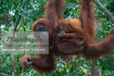 Mother and baby Sumatran orangutan (Pongo abelii) swinging through the forest, Bukit Lawang Orang Utan Rehabilitation station, Sumatra, Indonesia, Southeast Asia, Asia
