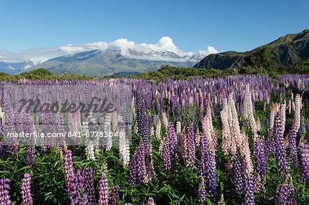 Field of lupins along Beacon Point Road, Wanaka, Otago, South Island, New Zealand, Pacific