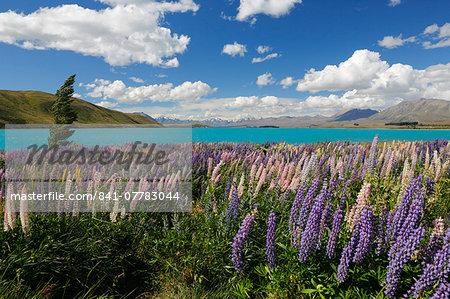 Lupins beside lake, Lake Tekapo, Canterbury region, South Island, New Zealand, Pacific