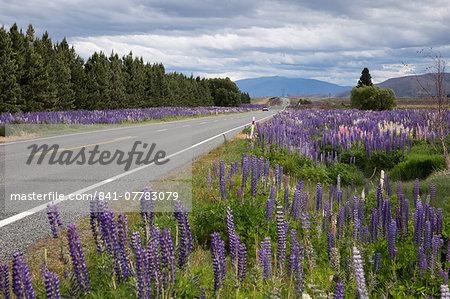 Highway 8 passing through field of Lupins, near Lake Tekapo, Canterbury region, South Island, New Zealand, Pacific