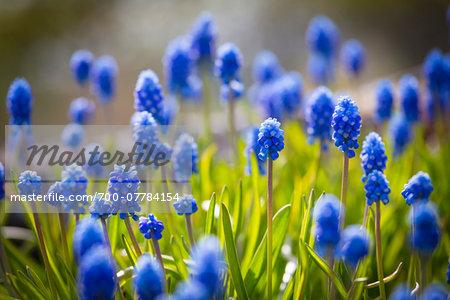 Muscari Dark Eyes Flowers, Arctic-Alpine Botanic Garden, Tromso, Norway