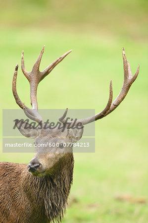 Portrait of Red Deer (Cervus elaphus) on Meadow in Early Autumn, Bavaria, Germany