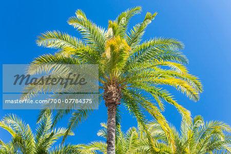 Palm Trees against Blue Sky, Los Angeles, California, USA