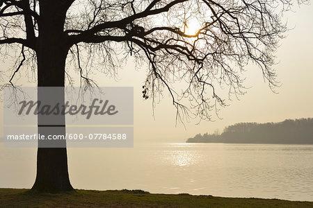 Tree at lakefront in Morning, Lake Schwerin, Schweriner Innensee, Schwerin, Western Pomerania, Mecklenburg-Vorpommern, Germany