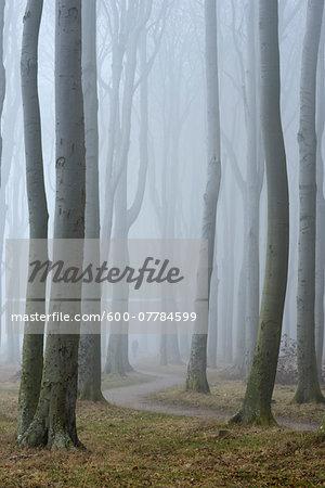 Trees in forest with fog, Ghost Forest (Gespensterwald), Nienhagen, Westren Pomerania, Mecklenburg-Vorpommern, Germany