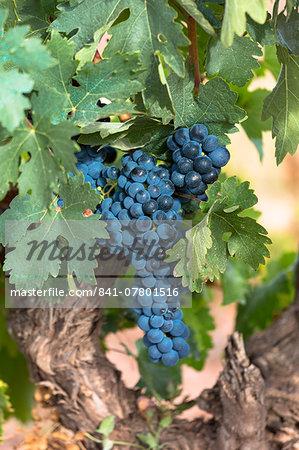 Black grapes on a vine along Ruta del Vino wine route in the Rioja region of Spain, Europe