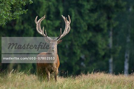 Portrait of Red Deer (Cervus elaphus), Germany