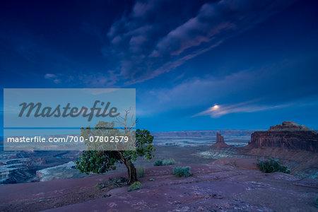 Utah Juniper Pine and the Green River Overlook at moonset, Canyonlands National Park, Utah, USA