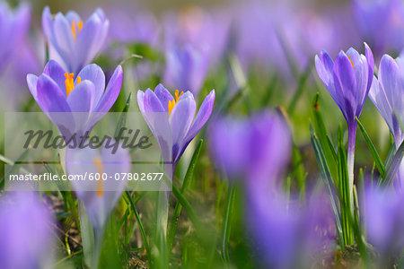 Close-up of crocus in spring, Husum, Schlosspark, Schleswig-Holstein, Germany