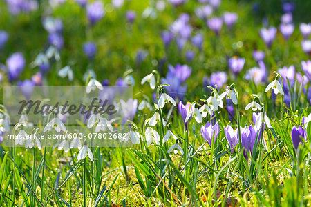 Close-up of crocus and snowdrop in spring, Husum, Schlosspark, Schleswig-Holstein, Germany