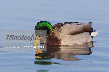 Mallard Duck (Anas platyrhynchos) on Water, Germany