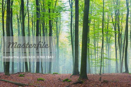 European Beech Forest (Fagus sylvatica) in Morning Mist, Spessart, Bavaria, Germany